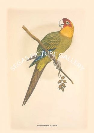 Carolina Parrot, or Conure